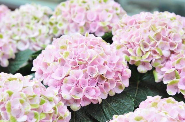 hortensia snoeien soort bepalen