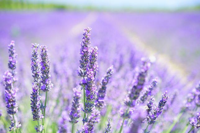 snoeien lavendel