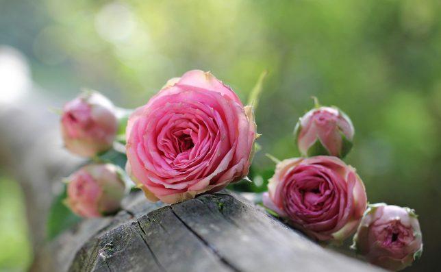 rozen snoeien wanneer en hoe