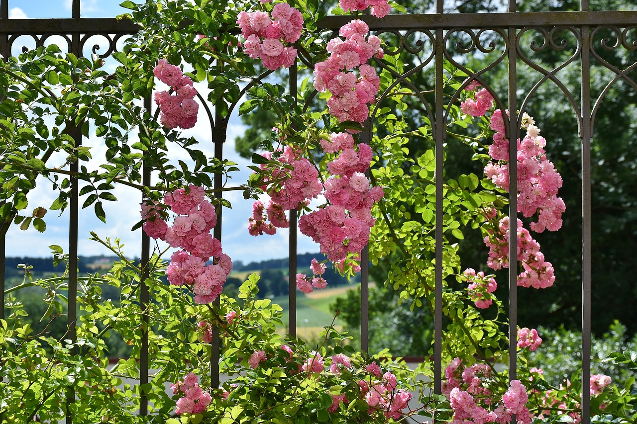 wanneer rozen snoeien klimroos